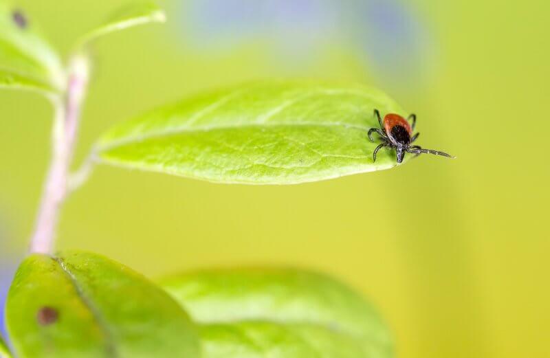 kliešť ako vybrať kliešťa ochrana prírodný repelent